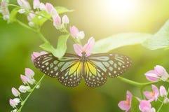 Vlinder Gele Glazige Tijger Stock Afbeeldingen