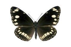 Vlinder - Gemeenschappelijke Australische Kraai, kern Euploea Royalty-vrije Stock Foto's