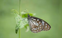Vlinder gemeenschappelijke kraai Stock Foto's