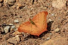 Vlinder Gemeenschappelijke Kruiser in Aard stock foto