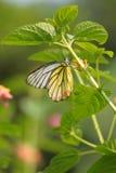Vlinder (geschilderde jezebel) Stock Foto's