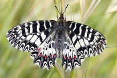 Vlinder in Griekenland royalty-vrije stock foto's