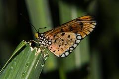 Vlinder in groene bladeren Stock Afbeelding
