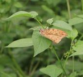 vlinder, Groot orang-oetanuiteinde, de vorm van Hebomoia glaucippe Royalty-vrije Stock Fotografie