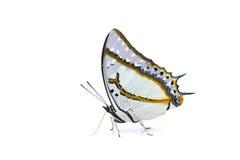 Vlinder (Grote Nawab) die op witte backgrou wordt geïsoleerdv Royalty-vrije Stock Afbeelding