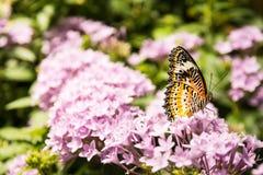 Vlinder Grote Vleugels die op de Bloemblaadjes Bush Insec zitten van Bloembladeren Stock Afbeeldingen