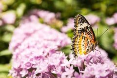 Vlinder Grote Vleugels die op de Bloemblaadjes Bush Insec zitten van Bloembladeren Stock Afbeelding