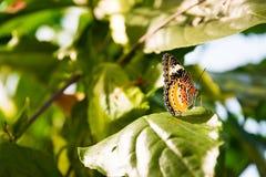 Vlinder Grote Vleugels die op de Bloemblaadjes Bush Insec zitten van Bloembladeren Royalty-vrije Stock Foto
