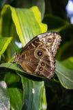 Vlinder Grote Vleugels die op de Bloemblaadjes Bush Insec zitten van Bloembladeren Royalty-vrije Stock Fotografie