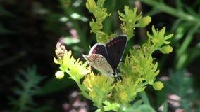 Vlinder in het bedrijf van een bij stock footage
