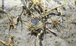 Vlinder het Blauw van Amanda ` s op het zand Stock Foto
