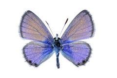 Vlinder - het twee Bevlekte Blauw van de Lijn Royalty-vrije Stock Fotografie