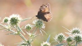 Vlinder het voeden aardscène stock video
