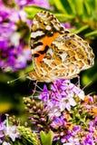 Vlinder het voeden op een Hebe Bush Stock Fotografie