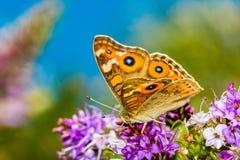 Vlinder het voeden op een Hebe Bush tegen een blauwe hemel Stock Fotografie