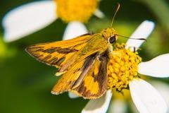 Vlinder het voeden op weinig bloem Stock Foto