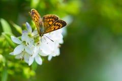 Vlinder het voeden op wildflowers Royalty-vrije Stock Foto's