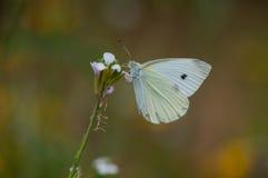 Vlinder het voeden van een bloem Stock Foto