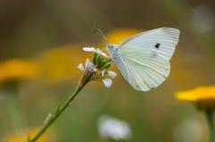 Vlinder het voeden van een bloem Royalty-vrije Stock Fotografie