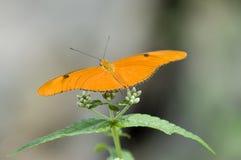 Vlinder I van Minnesota Royalty-vrije Stock Afbeelding