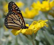 Vlinder II Stock Afbeelding