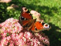 Vlinder II Royalty-vrije Stock Afbeeldingen