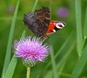 Vlinder - Inachis io Stock Foto's