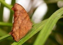 Vlinder (inachus Kallima) Stock Fotografie