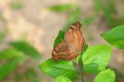 Vlinder (iphita van chocoladepansy/junonia) Royalty-vrije Stock Foto's