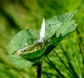 Vlinder klaar op te stijgen Royalty-vrije Stock Foto