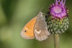 Vlinder Kleine dopheide & x28; Coenonympha pamphilus& x29; op distel Stock Foto's