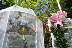 Vlinder in Kooi Stock Afbeeldingen
