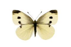 Vlinder, Koolwitje, rapae Pieris Stock Foto's