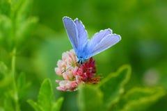 Vlinder koper-Vlinder Royalty-vrije Stock Afbeeldingen