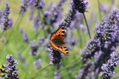 Vlinder & Lavendel Royalty-vrije Stock Afbeeldingen