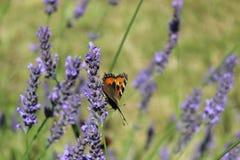 Vlinder & Lavendel Stock Foto