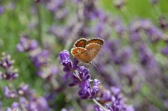 Vlinder in lavendel: de zomer komt royalty-vrije stock fotografie
