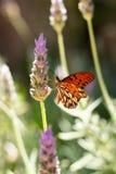 Vlinder in lavendel royalty-vrije stock foto