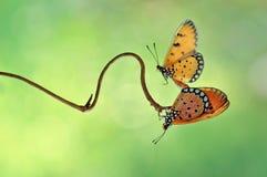 Vlinder Maating Stock Foto's