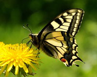 Vlinder Mahaon. Papilio machaon 4 Stock Afbeelding