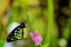 Vlinder, Mannelijke Steenhopen Birdwing in vogelhuis Stock Afbeelding