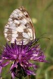 Vlinder (melanargiagalathea) Stock Fotografie