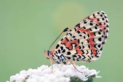 Vlinder Melitaea Didyma Stock Foto