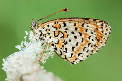 Vlinder Melitaea Didyma royalty-vrije stock foto