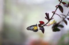 Vlinder met bloem Stock Afbeelding