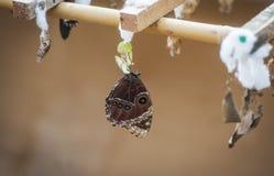 Vlinder met cocon Stock Foto