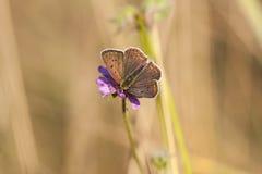 Vlinder met donkere bruinachtige vleugels op een bloembloesem Stock Afbeeldingen