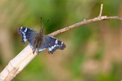 Vlinder met gebroken vleugels Royalty-vrije Stock Foto