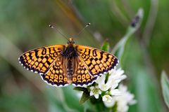 Vlinder met geopende vleugels Stock Foto's