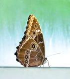 Vlinder met gesloten vleugels Stock Foto